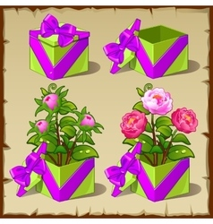 Gift box with growing pink peony vector image vector image