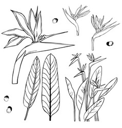 Hand drawn tropical flowers strelitzia sketch vector
