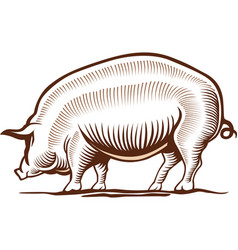 Pork pig hand drawing vector