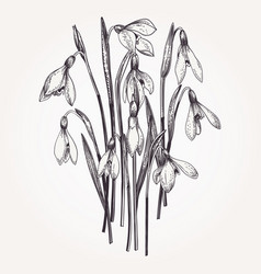 Bouquet of snowdrops vector