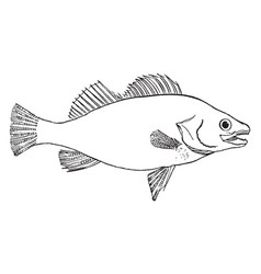 Fish vintage vector