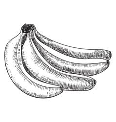 bananas of sketchesDetailed citrus drawing vector image