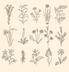 medical herbs sketch botanical floral therapy vector image