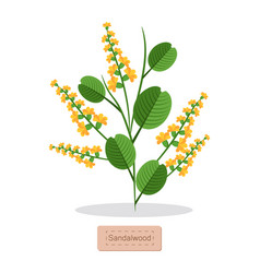Sandalwood poster with herb vector