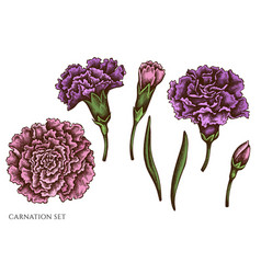 Set hand drawn colored carnation vector
