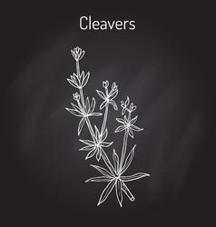 Cleavers galium aparine or goosegrass catchweed vector