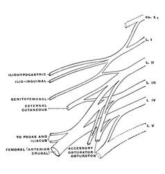 Lumbar plexus vintage vector