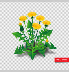 dandelions isolated realistic yellow vector image