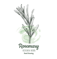 Rosemary sketch style vector