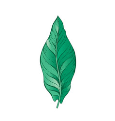 banana fruit tropical leaf hand drawn sketch vector image