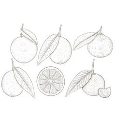 citrus fruits - orange lemon lime mandarin vector image