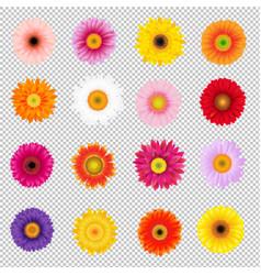 Big colorful gerbers set transparent background vector