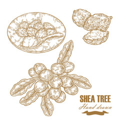 shea tree branch nuts and butter isolated on vector image