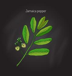 Allspice aromatic plant vector
