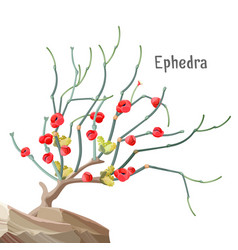 Ephedra widespread tree growing in stone joint vector
