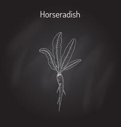 Horseradish cochlearia armoracia - vegetable vector