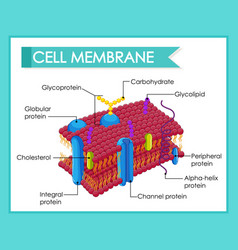 Human cell membrane structure vector
