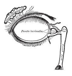 lacrimal apparatus vintage vector image