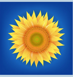 Sunflowers flower with blue background vector
