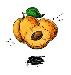 Apricot drawing hand drawn fruit and vector