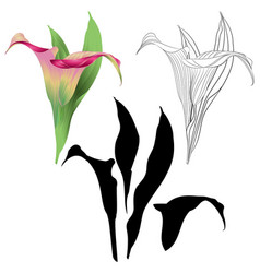 calla lily pink flowers and leaves vector image