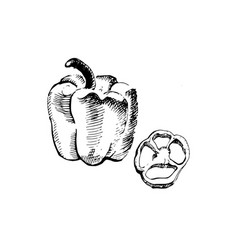 vintage ink hand drawn pepper isolated on white vector image