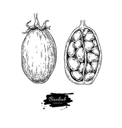 baobab superfood drawing isolated hand vector image