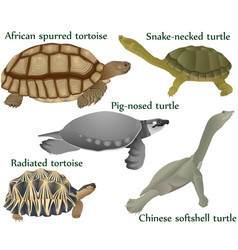 Collection different species turtles vector