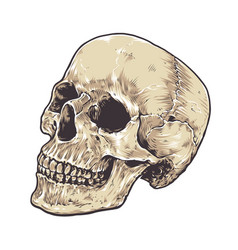 anatomic grunge skull vector image vector image