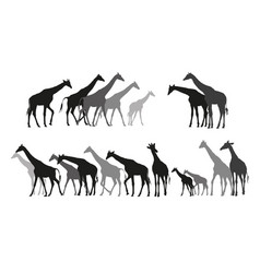 group of black and grey silhouettes of giraffes vector image