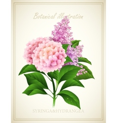 Syringa and hydrangea botanical vector