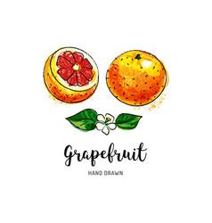 grapefruit fruit drawing watercolor grapefruits vector image