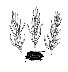 Rosemary drawing set Isolated Rosemary vector