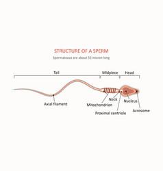 human sperm cell anatomy vector image