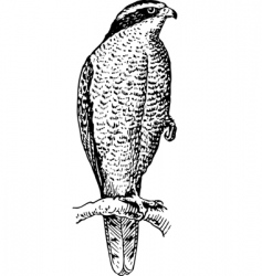 Northern goshawk vector