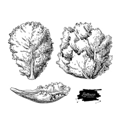 Lettuce hand drawn set Vegetable engraved vector image