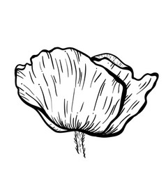 Poppy flowers hand drawn can be used in design vector