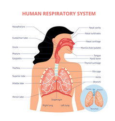 Respiratory system human anatomy airways vector