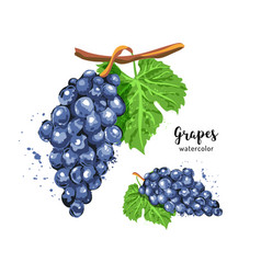 watercolor bunch grapes on an isolated white vector image