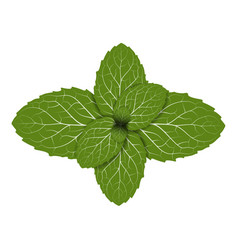 Peppermint leaf vector