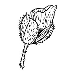 poppy flowers hand drawn can be used in design vector image