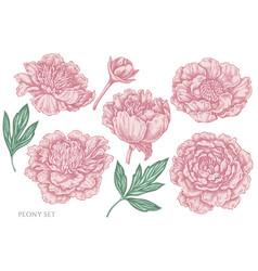set hand drawn pastel peony vector image