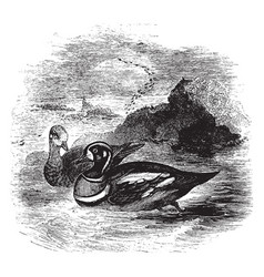 Harlequin duck vintage vector