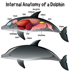 Internal anatomy a dolphin with label vector