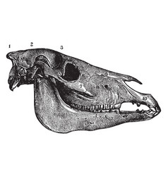 Lateral aspect of horse skull vintage vector