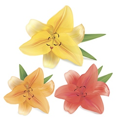 Lily on a white background vector image