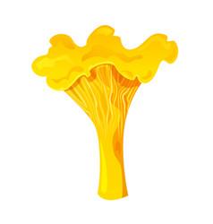 chanterelle edible mushroom vector image