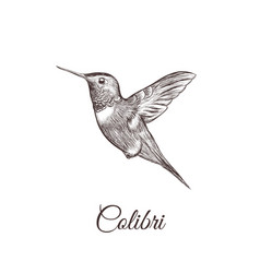 Hummingbird sketch hand drawing colibri vector