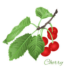 cherry leaves and berries and blossoms fruit vector image