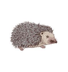hand drawn hedgehog vector image